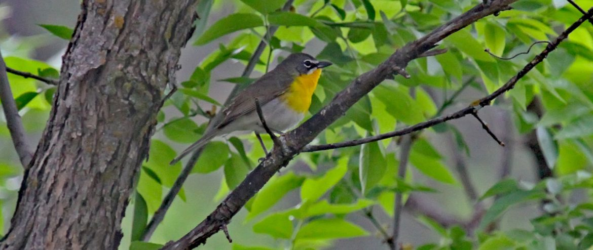 yellow breasted chat birds of nebraska online