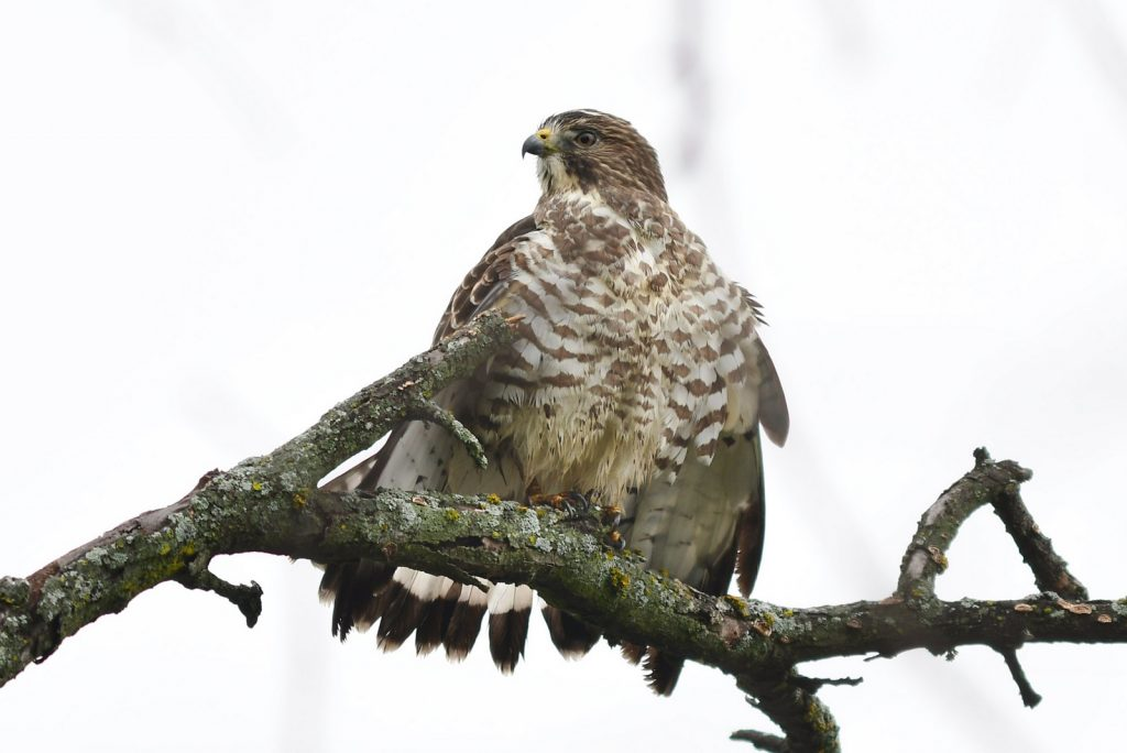 Adult Broad-winged Hawk at Holmes Lake, Lancaster Co 5 Oct 2018.  Photo by Steve Kruse.